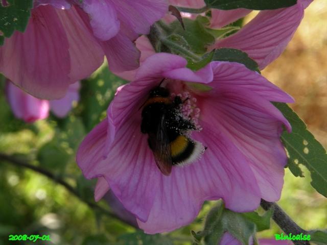 lavate12 dans Fleurs et plantes