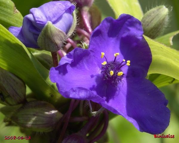 Le bleu dans le jardin. 3. dans Fleurs et plantes le_ble13