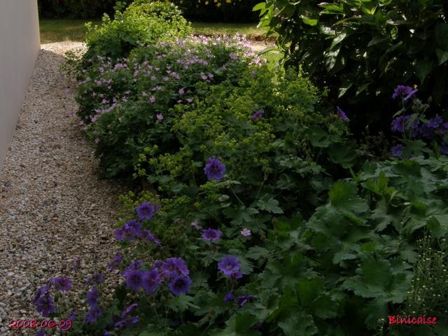 Le bleu dans le jardin. 4.  dans Fleurs et plantes le_ble16