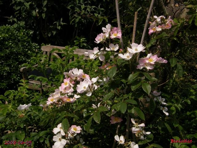 Mon rosier grimpant. dans Fleurs et plantes mon_ro11