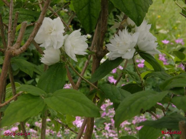 Mon seringat. dans Fleurs et plantes mon_se11