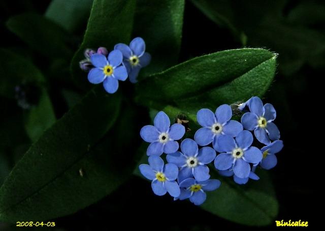 Bleu, blanc, rose. dans Fleurs et plantes myosot10