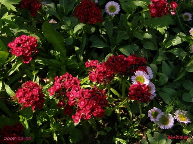 Oeillets de poètes 2008 . dans Fleurs et plantes oeille10
