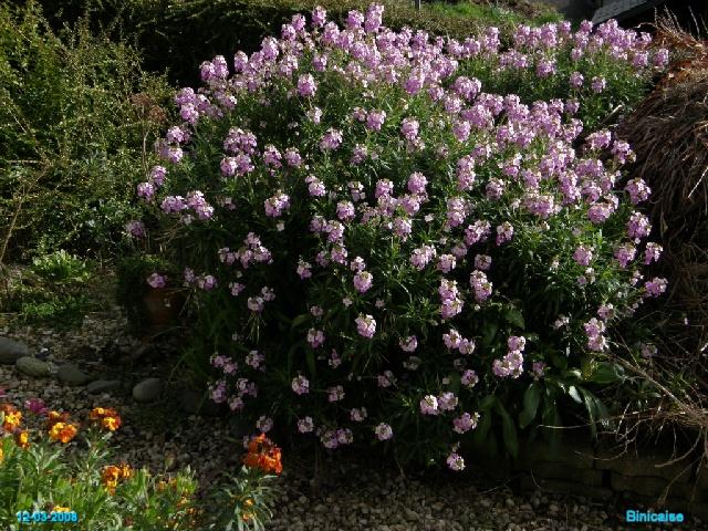 Giroflées..... dans Fleurs et plantes p3123712