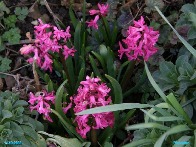 Bulbes de Printemps. dans Fleurs et plantes p3123715