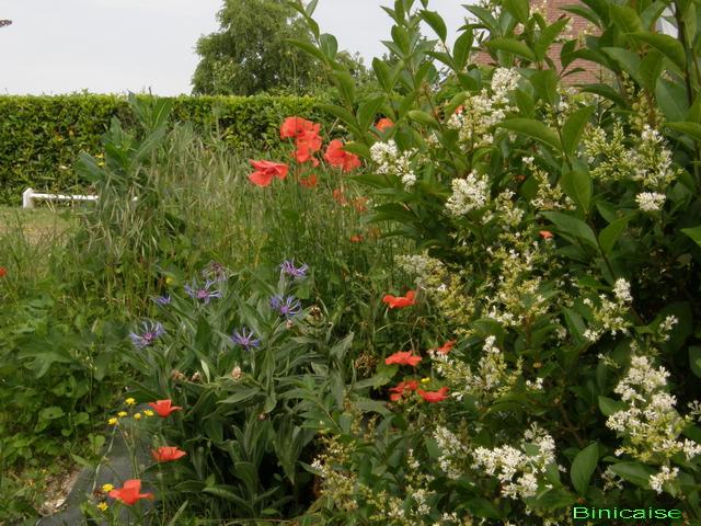 Comme un petit coquelicot...... dans Fleurs et plantes p7025310