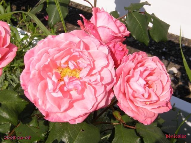 Roses variées. dans Fleurs et plantes roses_12