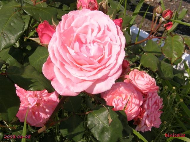 roses_13 dans Photos