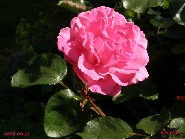 roses_15