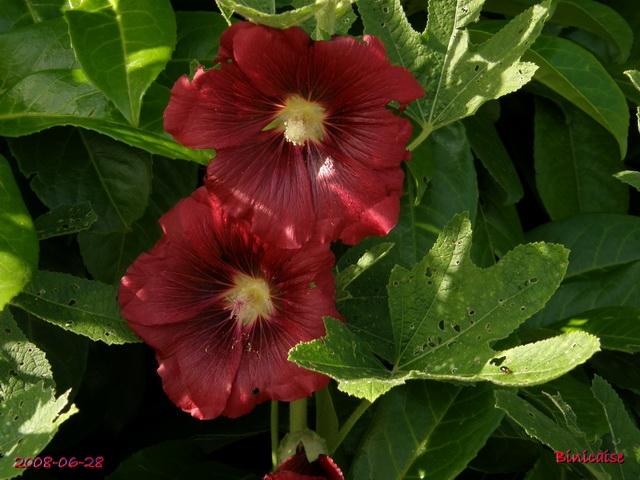 Roses trémières en Picardie. dans Fleurs et plantes roses_16