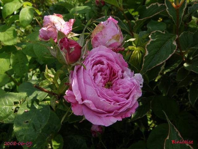 Les roses anciennes de mon jardin 2. dans Fleurs et plantes rosier12