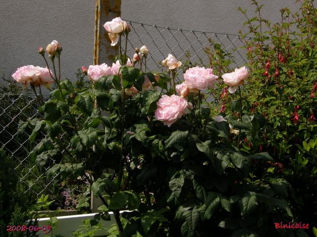 Les roses anciennes de mon jardin 3. dans Fleurs et plantes rosier15