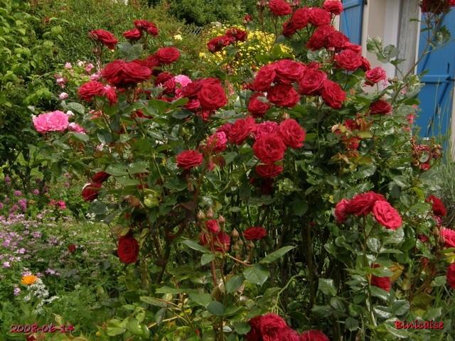 Rosiers buissons rouges.. dans Fleurs et plantes rosier16