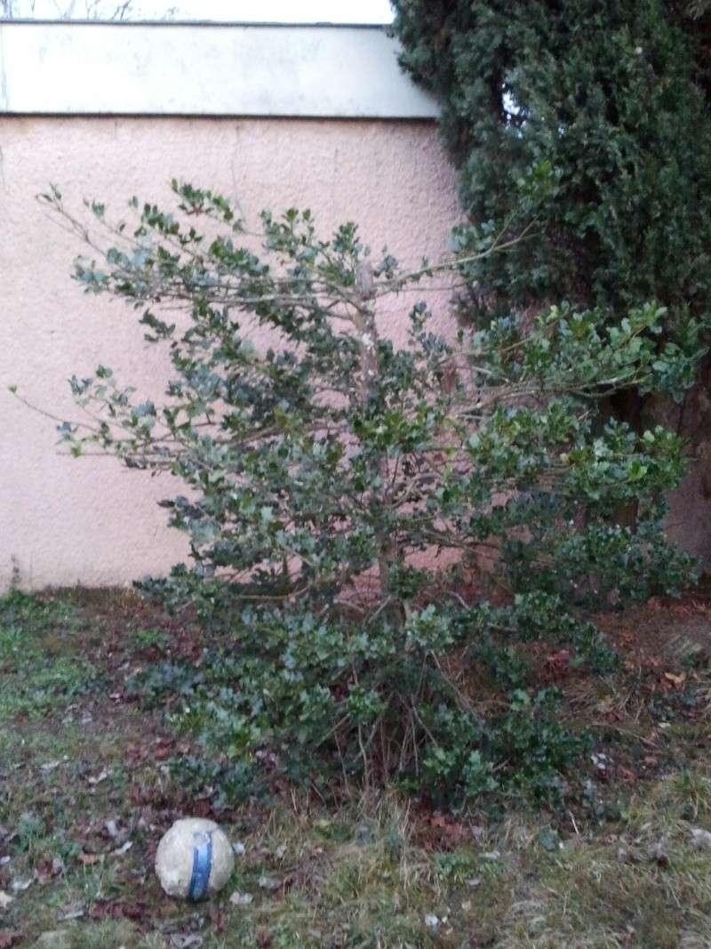 Quand Et Comment Tailler Un Houx taille houx - au jardin, forum de jardinage