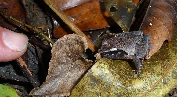 Rough-backed forest frog