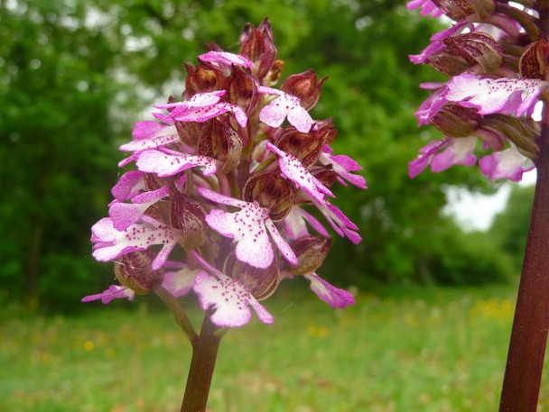 Orchidée Draché