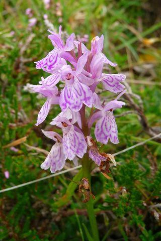 Ossau Mailh Massibe Montagnon Orchidée