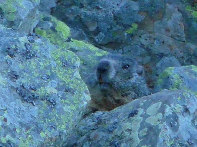 Marmotte Anaye