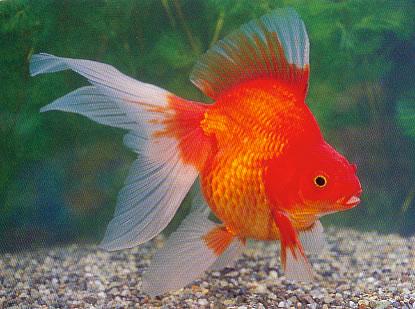 Recherche ryukins poisson rouge 82000 for Gros poisson rouge