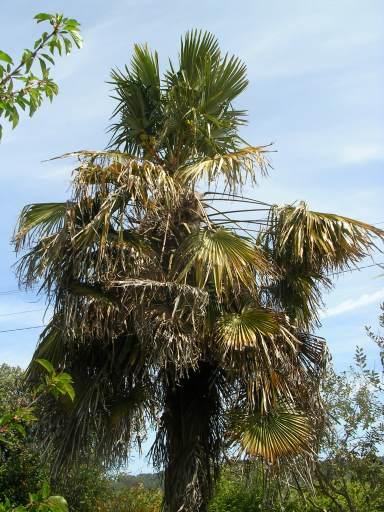 palmier malade