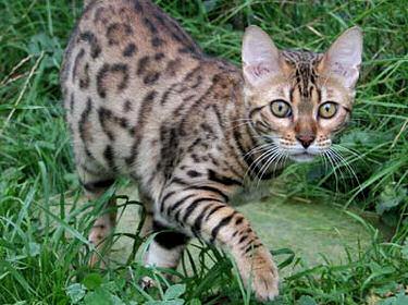 Bengale l opard - Chat type leopard ...