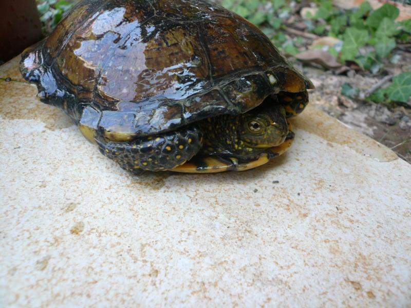 Tortue d eau trouver moune13 - Bassin tortue floride strasbourg ...