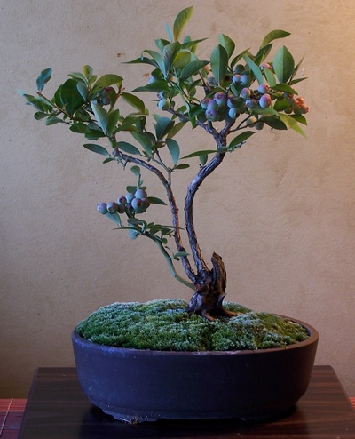 Blueberry Bonsai From Wild Gardening Forum Helpfulgardener Com