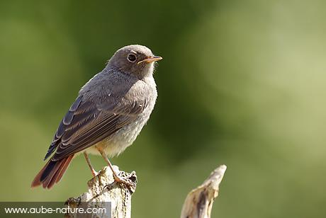 Quel oiseau est ce for Oiseau queue rouge