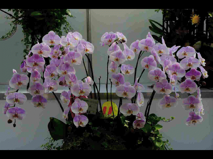 les diff rentes sortes d 39 orchid es ninnenne. Black Bedroom Furniture Sets. Home Design Ideas