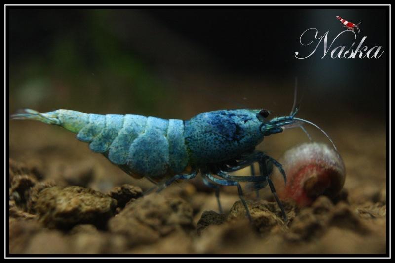 la reproduction des crevettes d eau douce