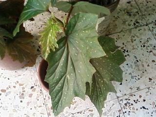 Pourquoi mon b gonia perd il ses feuilles - Mon olivier perd ses feuilles ...