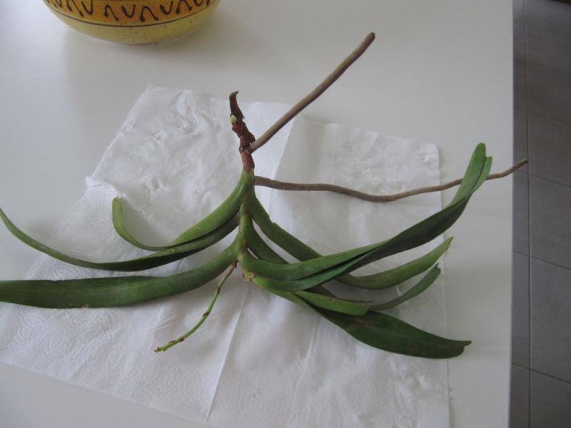 orchidee vanda bouture