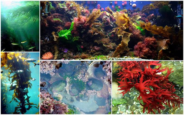 Marine Plants ? Temperate Marine Plants for the Aquarium