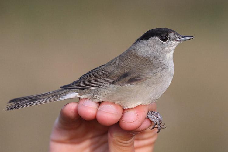 Les actualit s de la station de baguage de trunvel 2011 for Oiseau noir et gris