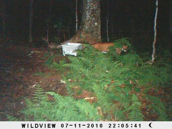 cougar quebec