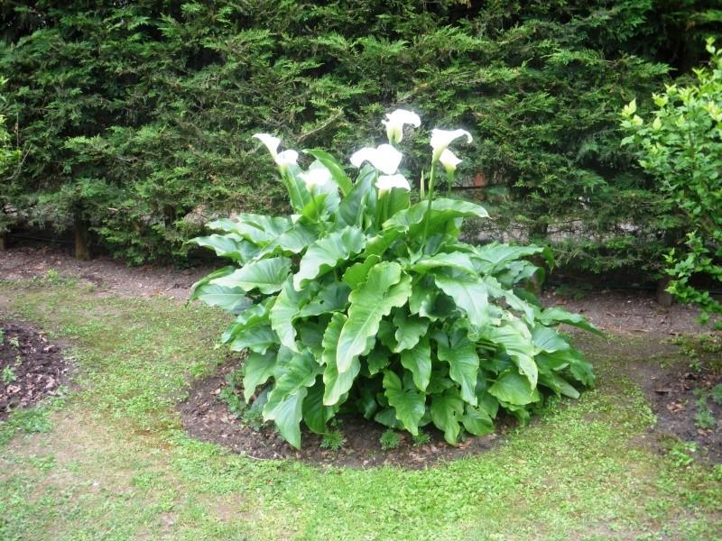 pourquoi mes arum ne fleurissent pas page 2 au jardin forum de jardinage. Black Bedroom Furniture Sets. Home Design Ideas