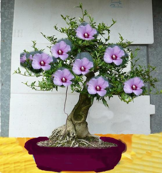 how to grow hibiscus bonsai