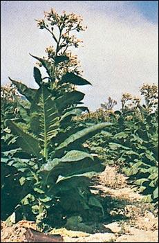 Le coin de victoria page 2 - Culture du tabac en france ...