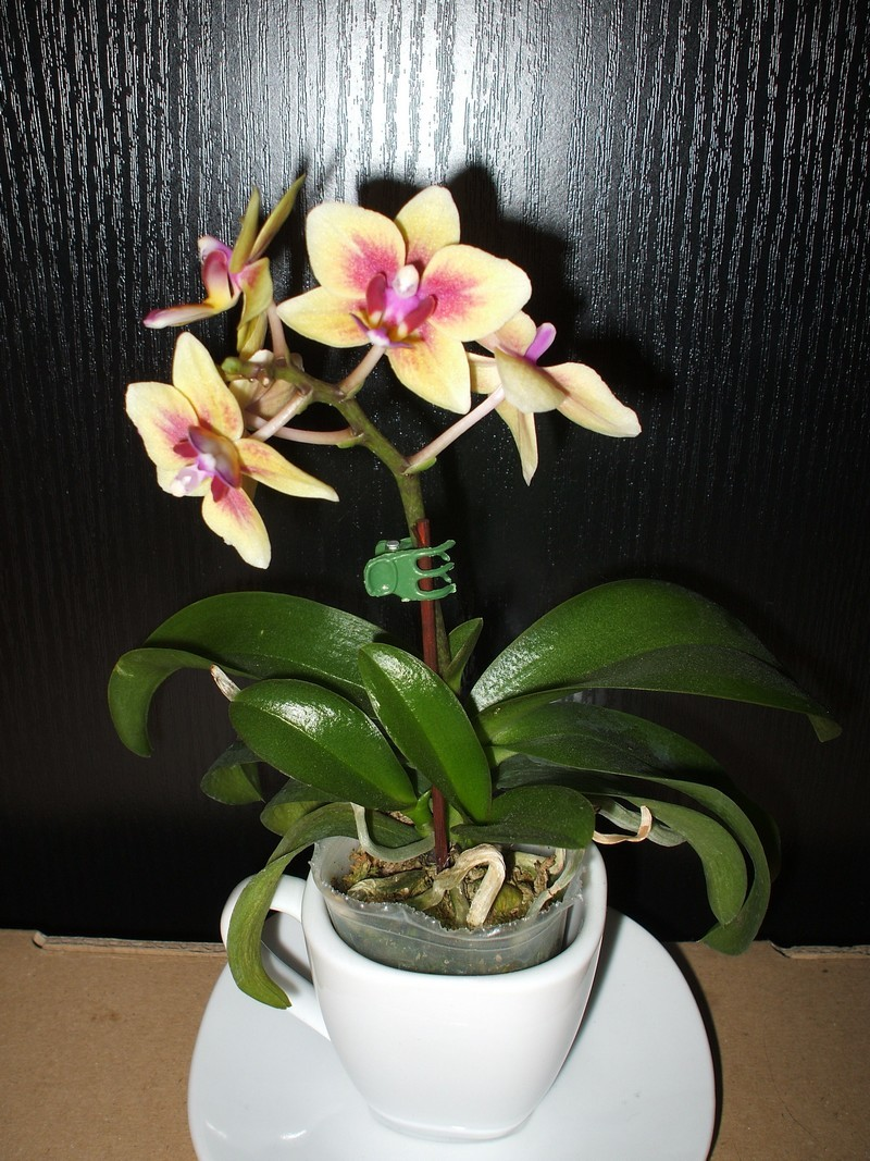 Mini Orchidee