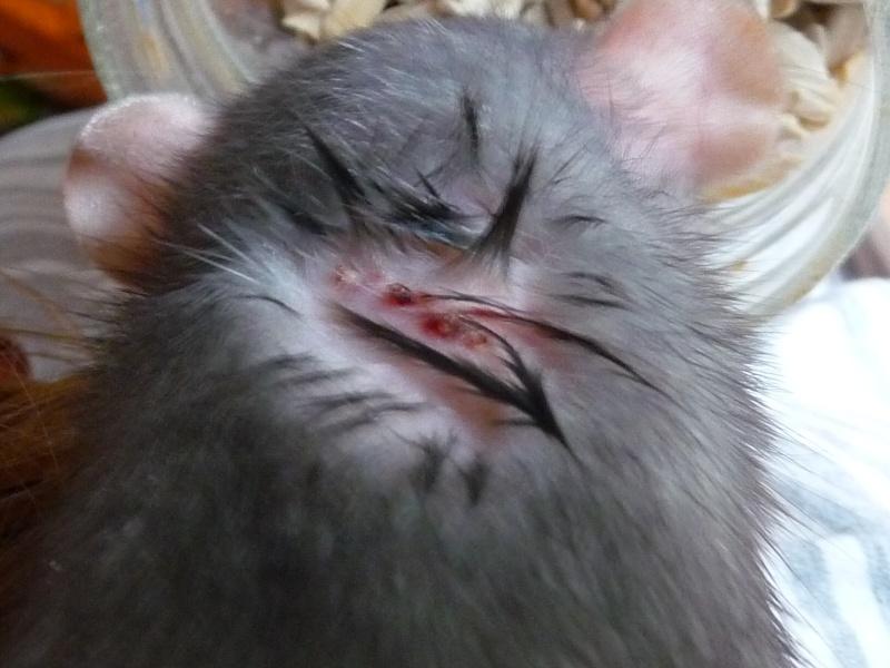 H ra a une croute bizarre - Perte de poils chez le chat ...