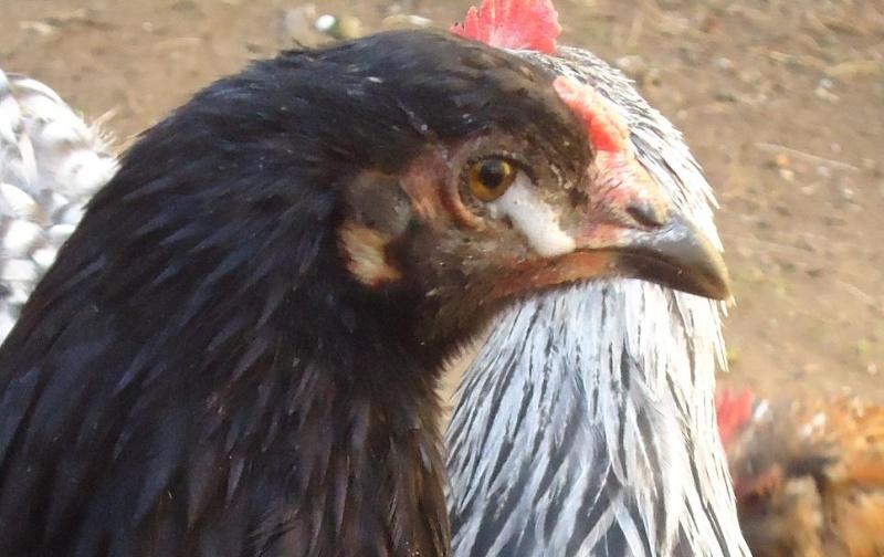 Ma poule pleure for Les maladies des poules