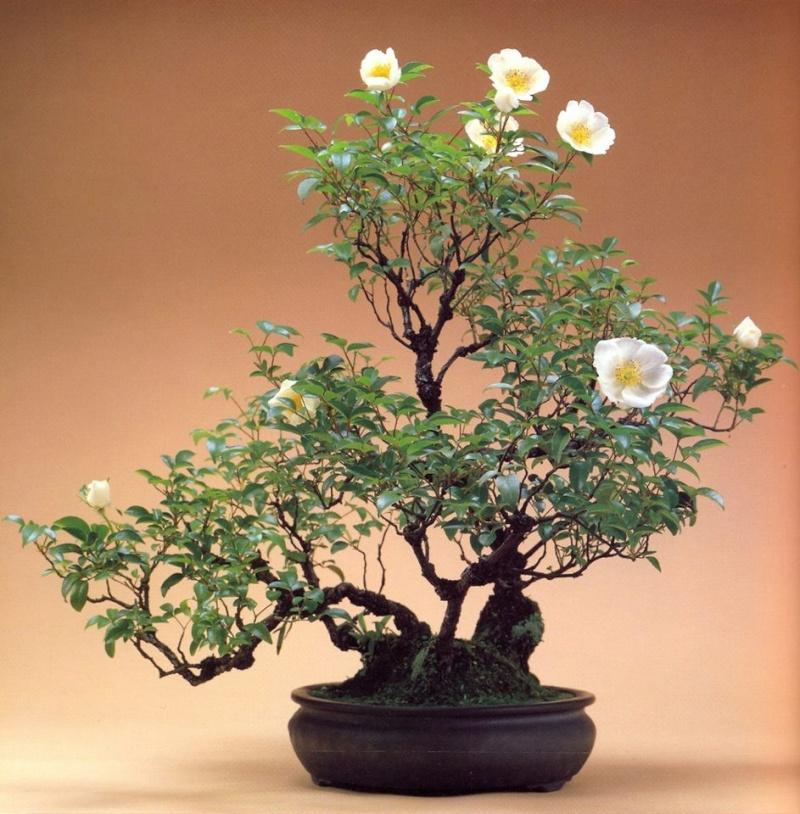re to bonsai a rose bush - Mini Roses Care Indoor