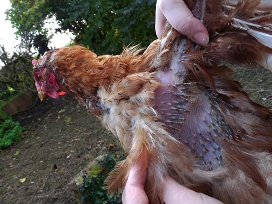 Sos poules qui est responsable de ce carnage for Maladie poules perte plumes