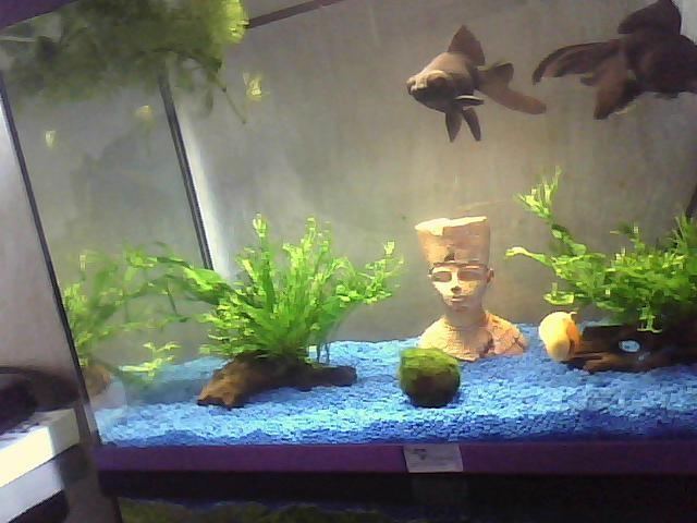 Plantes pour voile de chine for Poisson rouge aquarium 10l